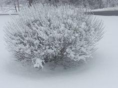 juniperus snow - Поиск в Google