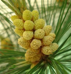 Urban Prepper Chick - Learn as I Go: Young pine cone time! (Pine Pollen Time!)