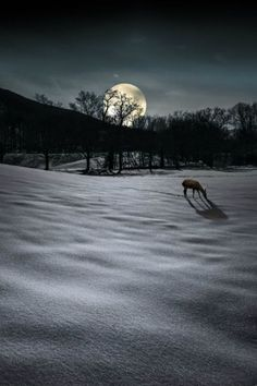 345  Deer by moonlight in the virgin snow
