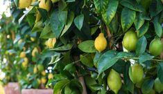 Citronnier : plantation, entretien - Côté Maison