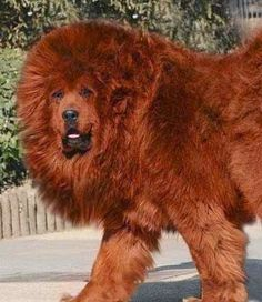 "In Tibet, Tibetan Mastiffs are called ""Do-khyi"" or ""tied dog"" and are kept chained to the gates and let loose at night. These are the most expensive dogs in the world. Giant Dog Breeds, Giant Dogs, Huge Dogs, I Love Dogs, Red Tibetan Mastiff, Beautiful Dogs, Animals Beautiful, World's Most Expensive Dog, Le Plus Grand Chien"