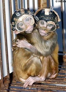 Monkey Wearing Glasses -I can't tell if they're scared, or having fun.  Certainly humilated...