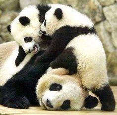 Three | Panda mama and twins!