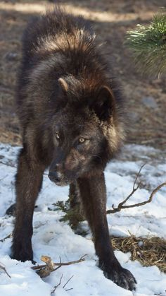 """""""The wolf in my breast wails in hunger and longing,"""" Wolf Images, Wolf Photos, Wolf Pictures, Wolf Spirit, Spirit Animal, Beautiful Wolves, Animals Beautiful, Wolf World, Wolf Husky"""