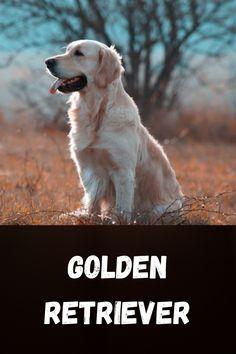 The Golden Retriever is a medium-large gun dog that was bred to retrieve shot waterfowl Life expectancy: 10 – 12 years Colors: Light Golden, Dark Golden, Cream, Golden Height: Female: 51–56 cm, Male: 56–61 cm Weight: Female: 25–32 kg, Male: 30–34 kg Temperament: Friendly, Intelligent, Reliable, Kind, Trustworthy, Confident Origin: United Kingdom, Scotland, England #doglife #love #puppylove #pet #puppies #cute Female Golden Retriever, Dog Life, Puppy Love, United Kingdom, Puppies, Pets, Cubs, England, Pup
