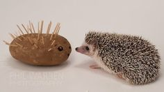 tbanando:    Potatothe Hedgehog meets a hedgehogged potato.