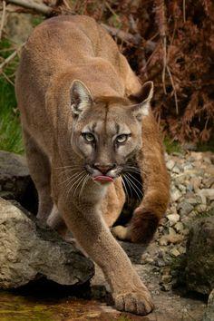Prowling Puma - null