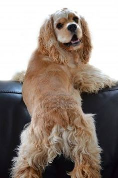 cocker spaniel - she looks like my baby Butter (rip) <3                                                                                                                                                      More