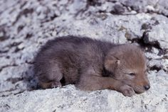 Scary Animals, Cute Animals, Beautiful Creatures, Animals Beautiful, Coyote Pup, African Wild Dog, Wolf Pup, Wolf Love, She Wolf