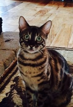 Those gorgeous eyes!!!! Charcoal mink bengal