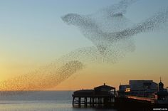 """European Starlings by Godfrey Glyn: """" I was on the seafront at Blackpool on a cold March evening as the sun set and watched the starlings preparing to roost. The patterns they made in the sky varied from second to second. This is my favourite one in which they created the image of a bird in flight."""""""