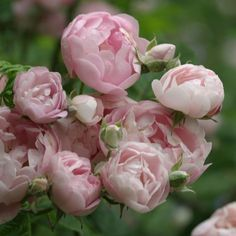 """Raubritter -Beautiful, fully double, old-fashioned cupped blooms of a bright and cherry-pink profusely produced in clusters on a spreading bush that forms a low mound. Ideal for trailing over walls. Petal 17-25, Bloom 2.5""""."""