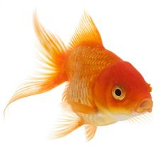goldfish and guppies power point--excellent! Guppy, Mind Map Art, Surprised Dog, Fauna Marina, Goldfish Pond, Carpe Koi, Traditional Japanese Art, Great Works Of Art, Art Lessons For Kids