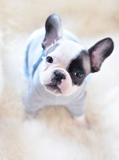 will you play with me again??@ tiny french bulldog in a tiny t-shirt