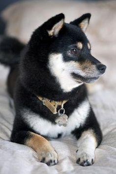 black and tan shiba inu Japanese Dog Breeds, Japanese Dogs, Cute Puppies, Cute Dogs, Dogs And Puppies, Doggies, Akita, Chien Shiba Inu, Shiba Inu Black