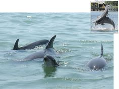 "Dolphins call to each other by imitating each other's ""Signature Whistle""!!!"
