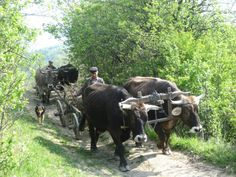 Via Romania  Postcards - Postales Facebook Page - Bullock cart in Buzau County Bullock Cart, City People, Working Class, People Of The World, Animals And Pets, Folk Art, The Past, Places To Visit, Memories