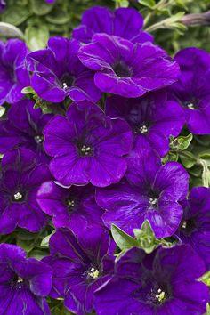 Heat Recommedation Proven Winners - Supertunia® Mini Blue - Petunia hybrid