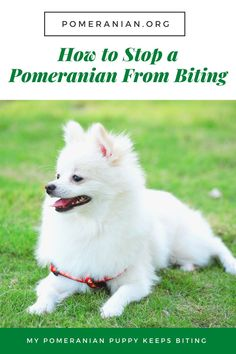 How to Stop a Pomeranian From Biting, My Pomeranian Puppy Keeps Biting White Pomeranian Puppies, Teacup Pomeranian, Puppy Biting, Dog Information, Dog Care, Dog Owners, Cuddling, Cute Dogs, Cute Animals