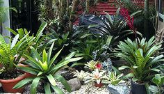 Bromeliads... always a favorite in Florida, but take care not to let your bromelidas become mosquito breeders...