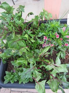 My Bordeaux Spinach growing rampantly alongside dianthus and Johnny-Jump-Ups. June 2015.