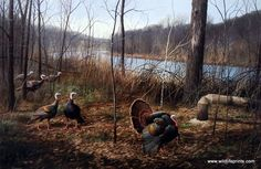 A strutting tom tries to get the attention of these females in the David Maass Print RIVER'S EDGE COURTSHIP-WILD TURKEYS. Wild turkeys prefer hardwood forests with scattered openings such as pastures,