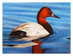canvasback duck images - Google Search