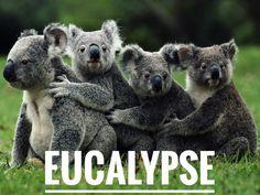 Eucalypseee #koala #koalas #eucalyptus