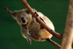 Australian Koala @ Currumbin Wildlife Sanctuary, QLD, Australia