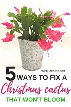 Flower Garden Does your Christmas Cactus refuse to bloom? Stop seething with jealousy and try these 5 Christmas cactus care solutions to get your flower blooming again. You'll never guess the tips about watering and repotting!