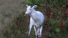 Broken Ear The Albino Deer: Pictures & Stories: Mike Crowley Northwoods Deer Hunting Tips, Big Game Hunting, Hunting Rifles, Hunting Gear, Albino Moose, Real Tree Camouflage, Camouflage Patterns, Picture Story, White Tail