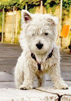 Resultados de la Búsqueda de imágenes de Google de http://www.white-summit.com/imagenes/fotos-westy/fotos-de-perros-de-raza-westy-02z.jpg