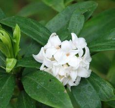 34 Best Fragrant Shrubs Images Shrubs Flowering Shrubs Plants