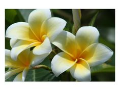 I love Plumeria...if only I could grow it in Colorado!