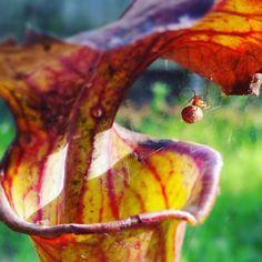 Паучок нашел довольно эффективное решение для обеспечения себя пропитанием. Garden carnivores working together  #sarracenia #sarraceniaflava #pitcherplants #carnivorousplants #carnivoroustagram #casualcarnivore #backyardgardening #spider #texasgardening #greenthumb #gardening #garden ( # @casualcarnivore )   #ulsk #ульяновск #ulyanovsk #насекомоядные #exoticflora #саррацения #sarracenia #heliamphora #darlingtonia #carnivorousplants