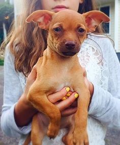 08/16/15-Meet Blossom, a Petfinder adoptable Chihuahua Dog | White Plains, NY | Blossom is happy and enthusiastic puppy looking for her forever home.. She has been raised with a...