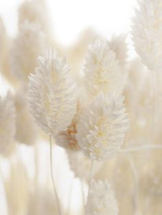 Phalaris – glossy grasses – dried and Aesthetic Backgrounds, Aesthetic Iphone Wallpaper, Aesthetic Wallpapers, Cream Aesthetic, Flower Aesthetic, Flower Backgrounds, Wallpaper Backgrounds, Paint Your House, Flower Phone Wallpaper