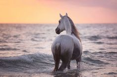 Horse by sunset in the ocean.