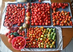 Sorting Tomatoes for Canning and Fresh Use