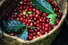 Coffea arabica is the perfect houseplant, with with glossy leaves, fragrant white flowers and red berries. Its easy to grow in a container, thrives in