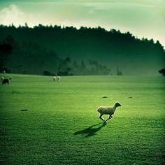 New Zealand Sheep ~