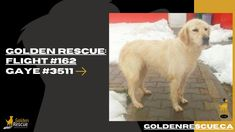 ICYMI: Flight #162 arrived in Vancouver from Istanbul yesterday carrying some very precious cargo. Gaye #3511 was welcomed into the loving arms of her forever family. Thank you to the amazing volunteers and generous donors who make our #RescueMissionOfLove possible! #goldenretriever #rescuedog #adoptdontshop #operationistanbul Volunteers, Rescue Dogs, Vancouver, Istanbul, Adoption, Arms, Amazing, Animals, Foster Care Adoption