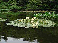 Gardening, gardeners, nature and art Prado, Pond Life, Lily Pond, Nature Aesthetic, White Gardens, Water Lilies, Water Garden, Water Plants, Mother Nature