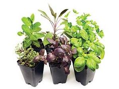 Pretty and practical herb displays - We grow herbs in decorative containers indoors. We place the containers in retail or servery locations where customers can see the herbs being used in display cooking stations.