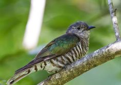 Little Bronze-Cuckoo - Australia, Cambodia, Indonesia, Malaysia, Papua New Guinea, Singapore, Thailand & Vietnam
