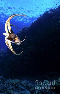 Octopus Vulgaris, Hawaii