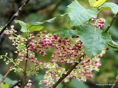Taranaki Educational Resource: Research, Analysis and Information Network - Aristotelia serrata (Wineberry, Makomako) Tall Shrubs, Zone 7, Small Trees, Allotment, Native Plants, Research, Garden Plants, Banks, Garden Ideas