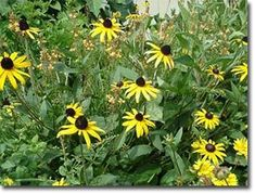 Here is a list of those good bugs and the plants that they like to visit for shelter and as another source of food for their diet, the sugar from flowers.