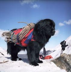 Newfoundland Rescue dog in avalanche country