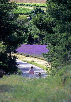 Lavender field, Provence La Provence France, Luberon Provence, Lavender Cottage, Lavender Fields, Lavander, Lavender Garden, French Lavender, Lavender Blue, Lilac